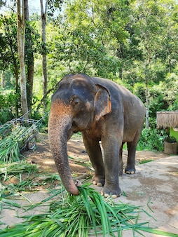 Disparo vertical de un lindo elefante agarrando hojas con el tronco caminando en la reserva