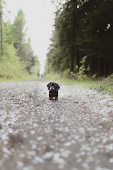 Disparo vertical de un lindo perro salchicha de pie en la carretera