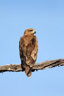 Disparo vertical de un magnífico halcón sentado en una rama bajo el cielo azul claro