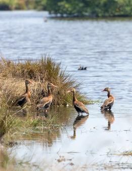 Disparo vertical de patos silbadores de vientre negro con hierba en el río