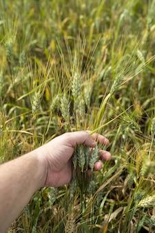 Disparo vertical de una persona sosteniendo trigo en un campo bajo la luz del sol en cádiz, españa.