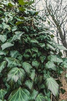 Disparo vertical de plantas de vid verde adjunta en el tronco del árbol