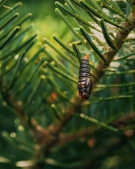 Disparo vertical de la pupa budworm colgando de una rama de un árbol en américa del norte