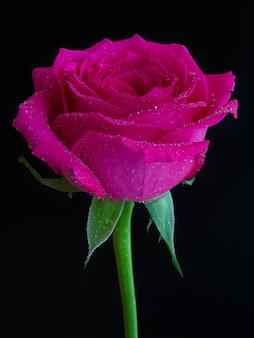 Disparo vertical de una rosa rosa con rocío en la parte superior sobre negro