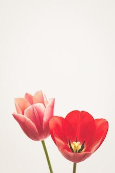 Disparo vertical de un tulipán de hojas de lino aislado sobre fondo blanco.