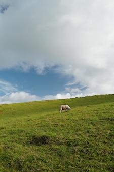 Disparo vertical de una vaca aislada comiendo hierba en un gran campo y el cielo nublado