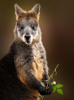 Disparo vertical de un wallaby comiendo mientras sostiene una rama de árbol