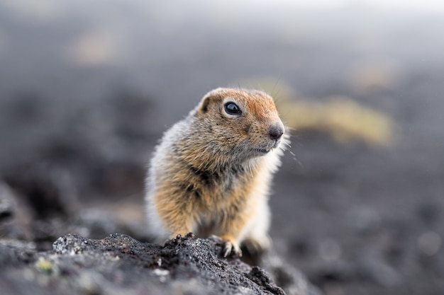 Divertida marmota con pelo esponjoso