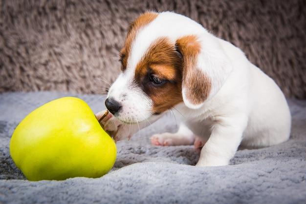 Divertido cachorro de perro jack russell terrier está mintiendo con manzana amarilla.