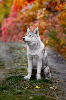 Divertido husky siberiano tumbado en las hojas amarillas. corona de hojas amarillas de otoño. perro en el fondo de la naturaleza.