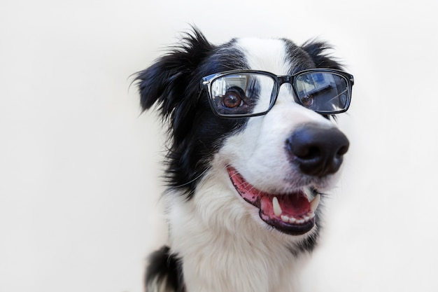 Divertido retrato de estudio de border collie cachorro en anteojos aislado sobre fondo blanco.
