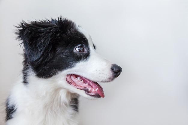 Divertido retrato de estudio de lindo perro cachorro smilling border collie aislado sobre fondo blanco.