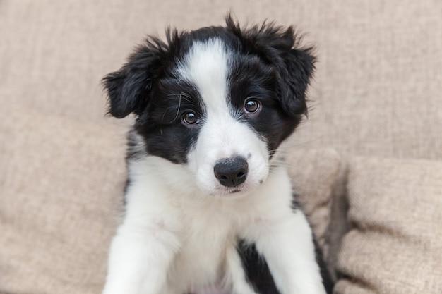 Divertido retrato de lindo perro cachorro smilling border collie en el sofá en casa