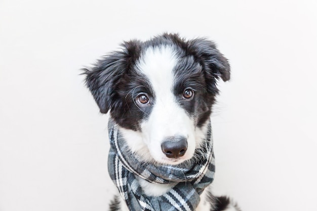 Divertido retrato de lindo sonriente cachorro border collie con una bufanda alrededor del cuello
