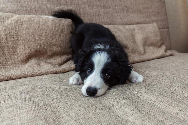 Divertido retrato de lindo sonriente cachorro border collie en casa