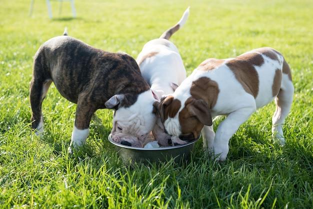 Divertidos cachorros de bulldog americano agradable están comiendo