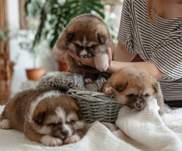 Divertidos cachorros esponjosos cerca de una acogedora canasta bajo la supervisión del propietario.