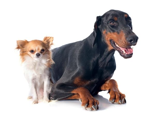 Doberman y chihuahua