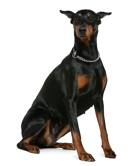 Doberman pinscher, 7 años. retrato de perro aislado