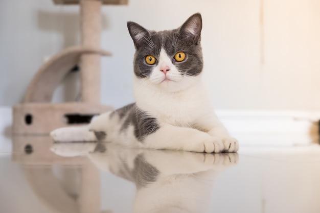 El doblez del escocés del gato del bebé se acostó en el piso en casa.