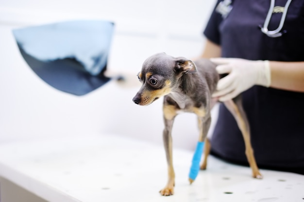 Doctor veterinario de sexo femenino con el perro que mira la radiografía durante el examen en clínica veterinaria. perrito con pierna rota en clínica veterinaria.
