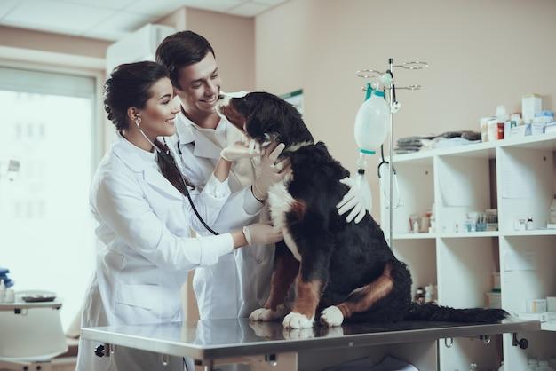 Los doctores cuidan del perro de berna examinan el latido del corazón