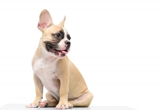 Dogo francés lindo que se sienta en la tabla aislada