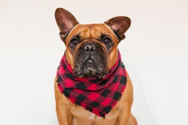 Dogo francés marrón lindo que se sienta en la cama en casa y. expresión divertida y juguetona. mascotas en interiores y estilo de vida