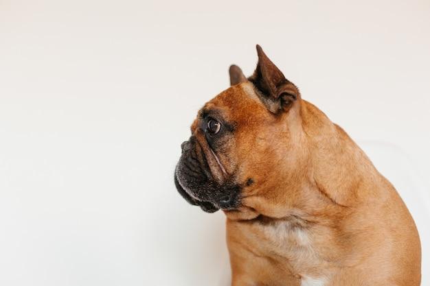 Dogo francés marrón lindo que se sienta en el piso en casa y. expresión divertida y juguetona. mascotas en interiores y estilo de vida