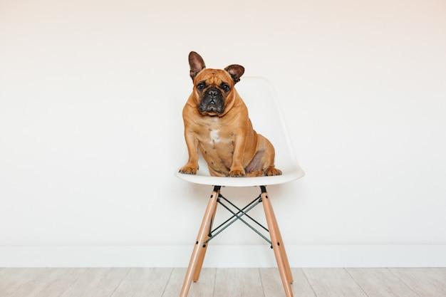 Dogo francés marrón lindo que se sienta en una silla en casa y. expresión divertida y juguetona. mascotas en interiores y estilo de vida