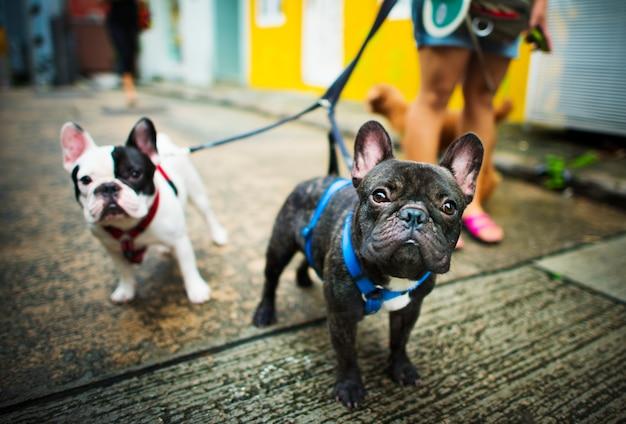 El dogo francés toma un paseo el concepto encantador del animal del animal doméstico