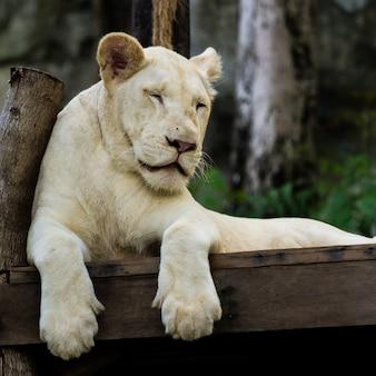 Dormir león blanco de cerca