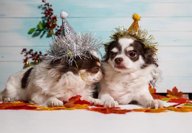 Dos adorables perros chihuahua con un sombrero cónico de año nuevo en festivo.