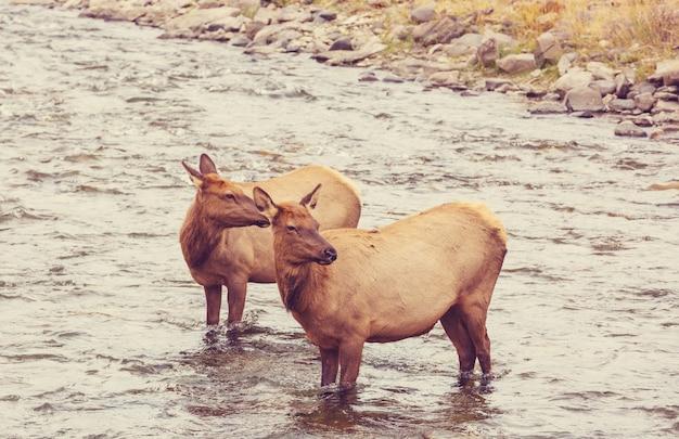 Dos alces se encuentra en el agua del río hirviendo en el parque nacional de yellowstone.