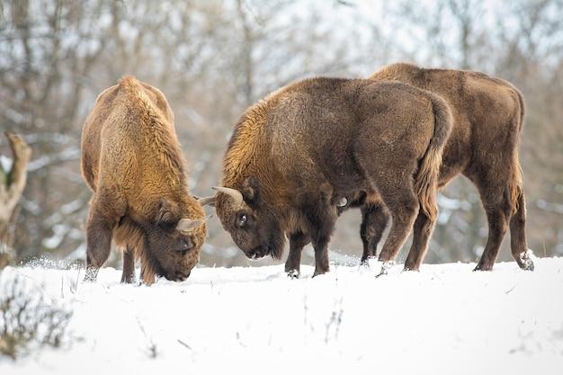 Dos bisontes europeos, bison bonasus, luchando en la pradera con bosque detrás en invierno. gran mamífero con cuernos de pie uno contra el otro. grandes animales salvajes en batalla en bosques nevados.