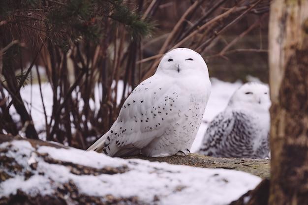 Dos búho nival sentado en el bosque de invierno