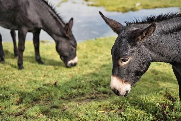 Dos burros negros, concepto de ganado