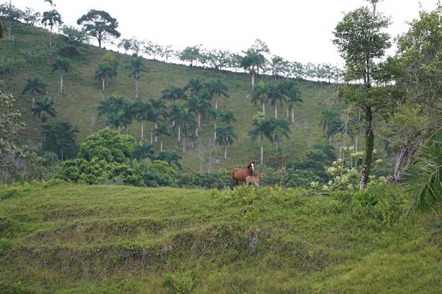 Dos caballos de pie en una colina cubierta de hierba en la distancia con árboles en la república dominicana