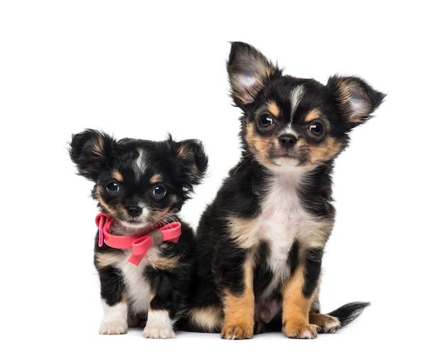 Dos cachorros de chihuahua delante de una pared blanca