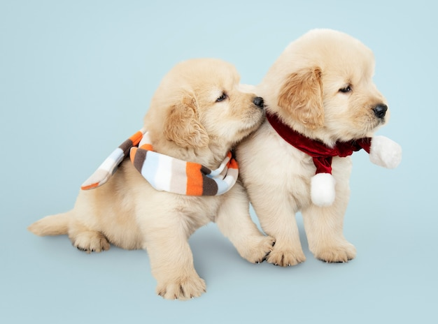 Dos cachorros de golden retriever con bufandas