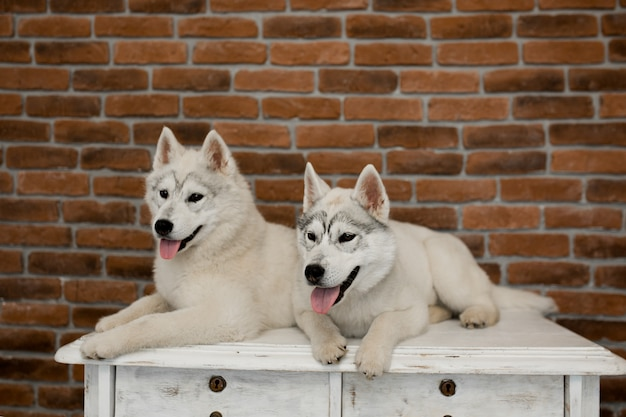 Dos cachorros de husky siberiano en casa se sientan y juegan. estilo de vida con perro