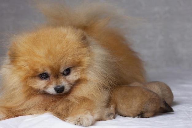 Dos cachorros recién nacidos se encuentran junto a un pomerania naranja esponjoso