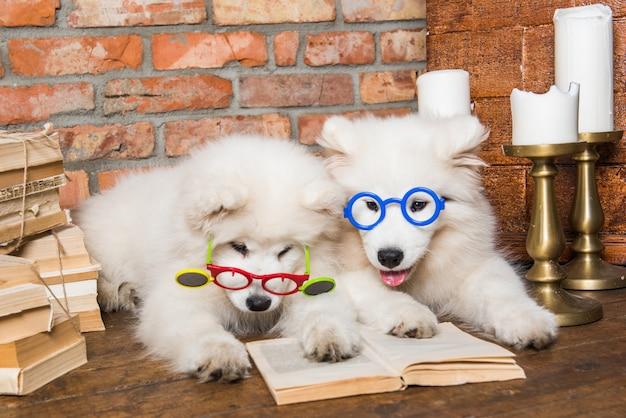 Dos cachorros de samoyedo blanco mullido perros con libro