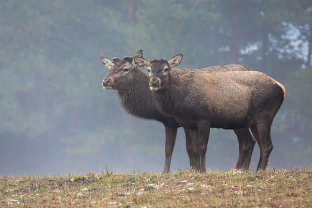 Dos ciervos ciervos sin cuernos de pie en el campo en invierno