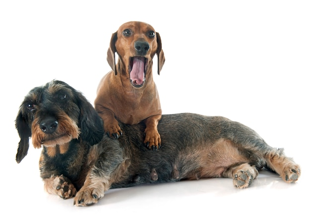 Dos dachshunds