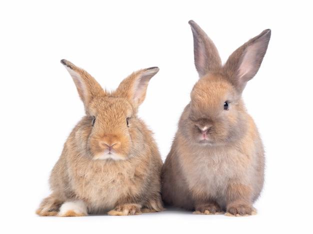 Dos encantador conejo marrón aislado en la pared blanca