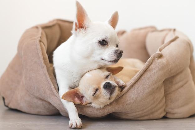 Dos encantadores, lindos y hermosos cachorros de chihuahua domésticos amigos acostados, relajándose en la cama del perro