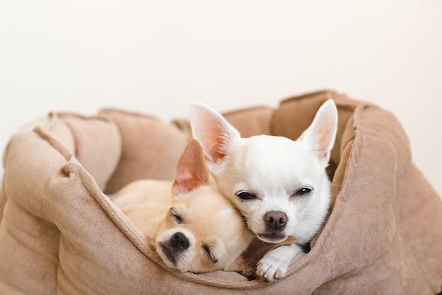 Dos encantadores, lindos y hermosos cachorros de chihuahua mamíferos de raza doméstica amigos acostado, relajarse en la cama del perro. mascotas descansando, durmiendo juntos. retrato patético y emocional. foto de padre e hija.