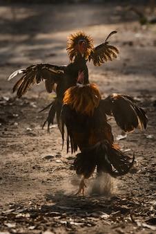 Dos gallo de combate en la naturaleza arena luchando.