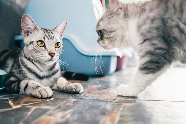 Dos gatitos boxeando o jugando en casa después de la alimentación